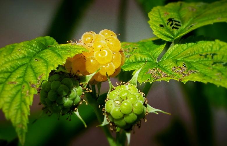 de eerste framboos - Vanmiddag de eerste rijpe, gele framboos ontdekt in onze achtertuin. Heerlijk zoet zijn ze, dus nu maar hopen dat de vogels er bi