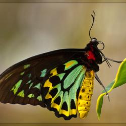 Vogel vlinder
