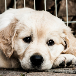 Dromerige pup