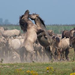 Strijdende konikpaarden
