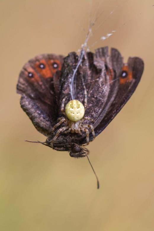 Houdgreep - Tijdens een wandeling zag ik een vlinder stil in de lucht hangen, dat kan niet kloppen toch? Bleek in het web van deze spin te zijn gevlog