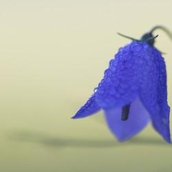Blauw klokje
