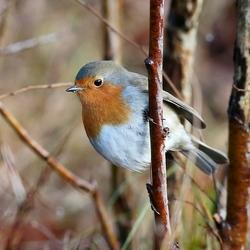 Roodborst (Robin)
