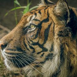 Sumatraanse tijger ..