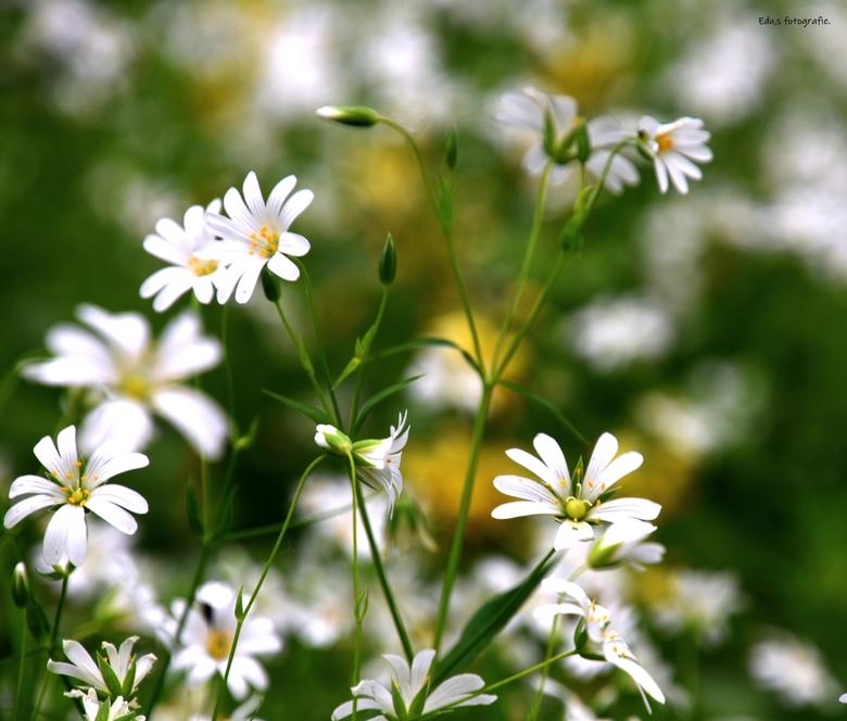 DSC_1877  Akkerhoorn bloem.. - Akkerhoorn bloem.<br /> <br /> als een groot wit tapijt.<br />