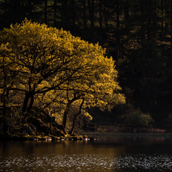 Trees of Gold - Loughrigg Tarn