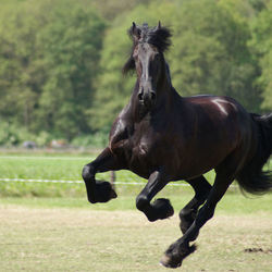 Fries in volle galop