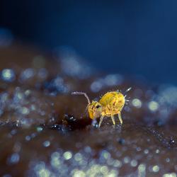Springtail Explorer