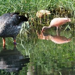 Rode Ibis met andere vogel