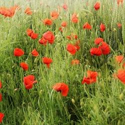 poppies6899