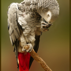 grijze roodstaart
