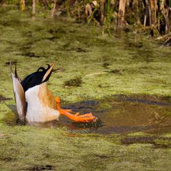 A duck ducking