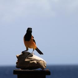 Curacao, de vogelnatuur