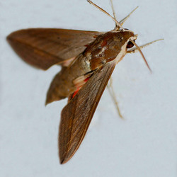 Theretra alecto (Oosterse pijlstaartvlinder)