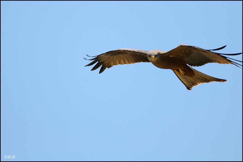 Black Kite - De Black Kite, alias de zwarte wouw, is een niet te missen roofvogel als je een bezoek brengt aan de Ngorongoro Krater. Zeker als je in o