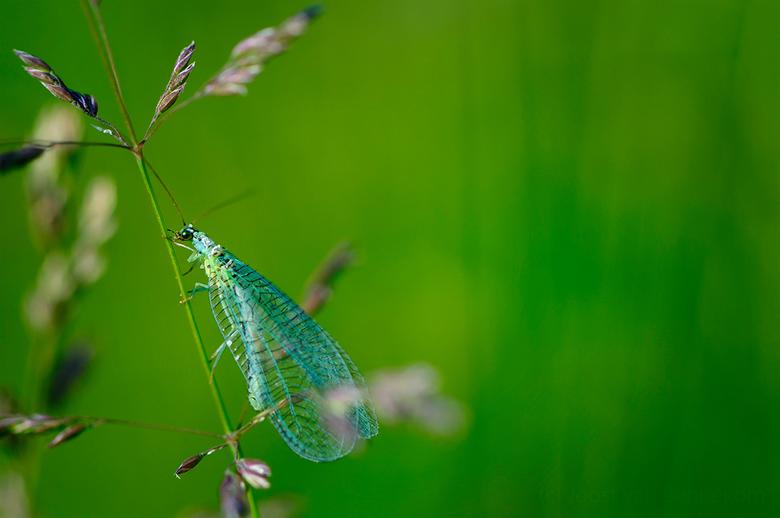 Gaasvlieg - Weet jij hoe dit insect heet? Laat het dan graag even weten. &gt; Het is een Gaasvlieg (Chrysopidae). Met dank aan Ronald en Ron.<br /> <