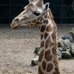 Jonge Giraffe