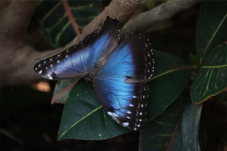 Vlinder in Artis  - Geschoten in de vlindertuin van Artis met de Canon 77D in combinatie met de 55-250mm lens !