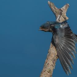 Jonge zwaluw