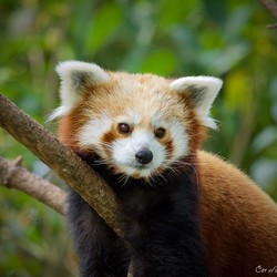 Kleine Rode panda.