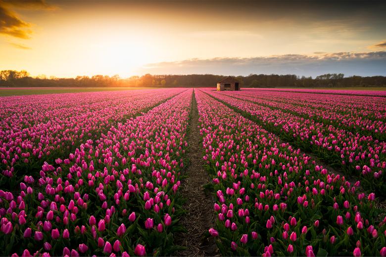 Good ol' Dutch Tulips