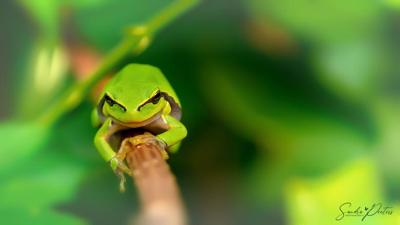 Groene boomkikker -