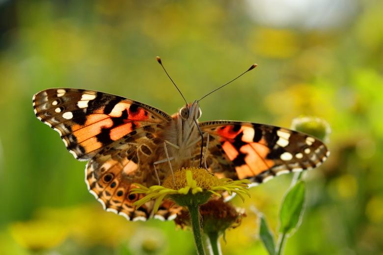 distelvlinder - De distelvlinder is natuurlijk al wel vaker gefotografeerd. Ik vond deze compositie met veel licht van achteren, en dus door de vleuge