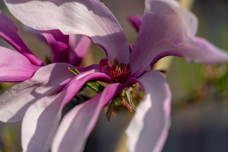 Volwassen Magnolia - Volwassen Magnolia, gereed om door te geven...