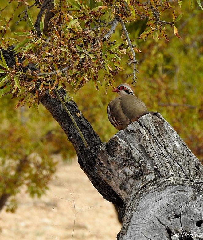 Spaanse rode patrijs. - De rode patrijs (Alectoris rufa) is een vogel uit de familie van fazanten (Phasianidae). Rode Patrijzen zijn inheems in Zuidwe