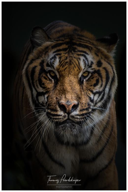 tijger in stichting leeuw -