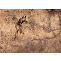 Striped Hyeana, Kenia
