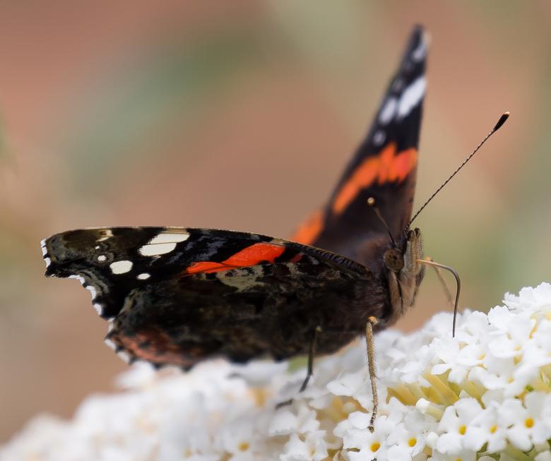Vlinder in de tuin -