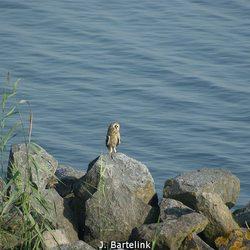 Uil langs het water