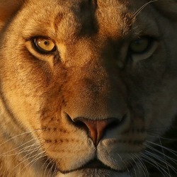 Golden hour lioness