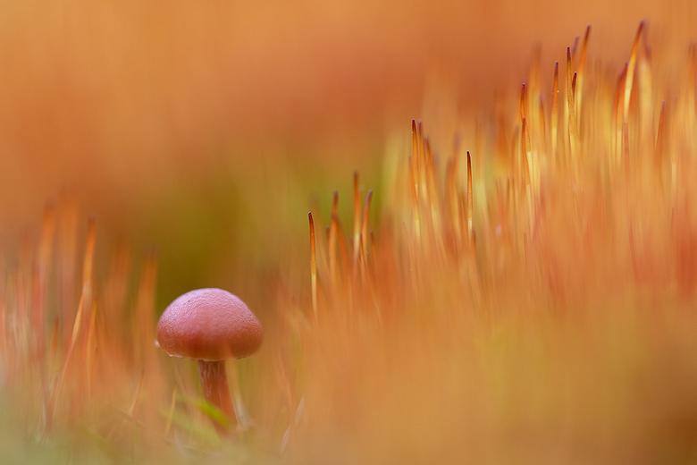 Paddestoel - Kleine paddestoel tussen het bloeiend mos.