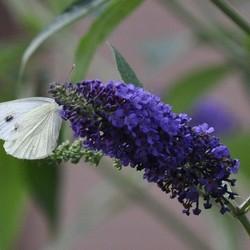 Koolwitje op vlinderstruik.