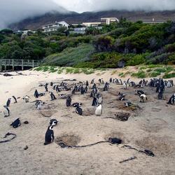 Pinguïns op Boulder Beach