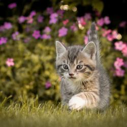 Kleine tijger