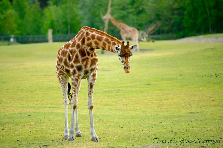 Jonge giraf - Jonge giraf in de Beekse Bergen
