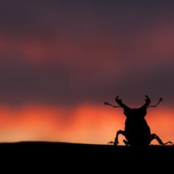 Vliegend hert silhouet