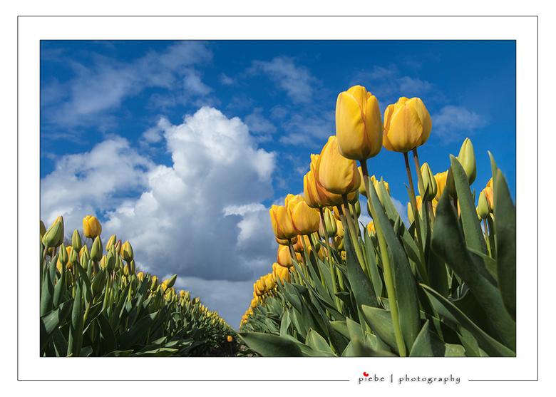 """Tulpen uit Rutten - Ik kan nog niet genoeg krijgen van de tulpen uit de Noord Oost polder.<br /> <br /> Groet <a href=""""http://www.piebevandenberg.nl"""