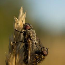 Parende vliegen (2)