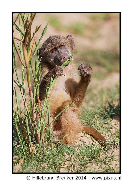 Ik lust wel een groen blaadje... - Eind april heb ik een prachtige fotoreis gemaakt naar Zuid Afrika. We zijn onder andere in het Kruger park geweest