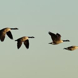 Canadese ganzen in de vlucht