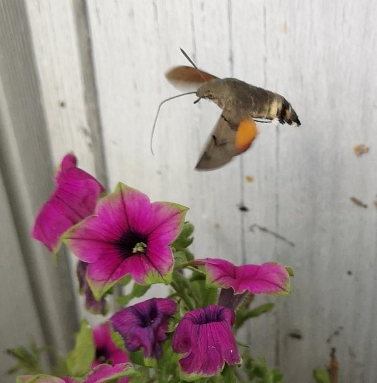IMG_20190801_132120 - Kolibrivlinder