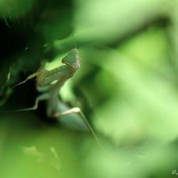 Mantis.