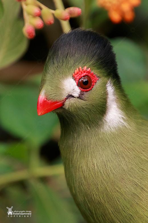 witwangtoerako - De witwangtoerako leeft van oorsprong in Soedan, Zuid-Soedan, Ethiopië en Eritrea. De habitats zijn coniferen- en jeneverbesbossen in