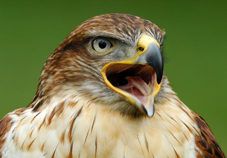 CARACARA - koningsbuizerd - close-up Koningsbuizerd