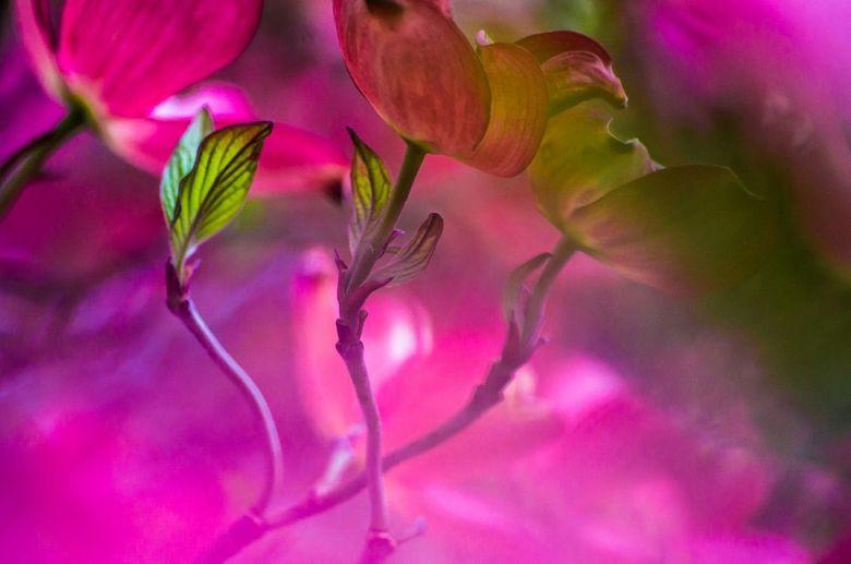 Achter de roze bladeren - Een paar groene kleine bladeren verscholen achter de rose bladeren