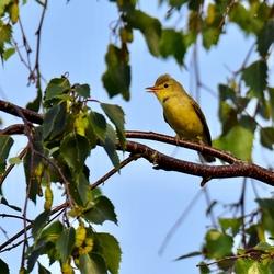 Druk zingend orpheusspotvogeltje